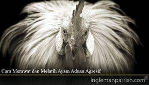 Cara Merawat dan Melatih Ayam Aduan Agresif